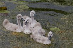 cygnets imagens de stock royalty free