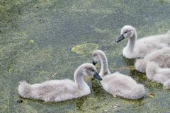cygnets fotos de stock