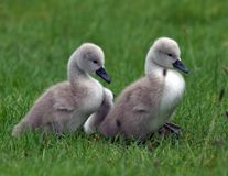 Cygnets Stock Images
