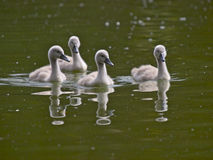 Cygnets Royalty Free Stock Image