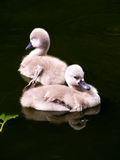 Cygnets. Swimming in the lake Royalty Free Stock Photography