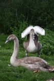 Cygnets. Two cygnets on green grass, one cygnet spreading its wings Royalty Free Stock Image