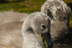 cygnets photographie stock