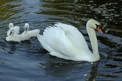 Cygnets. A mother swan and three cygnets stock photography