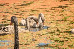 Cygnets. Adult swan with its cygnets royalty free stock photography