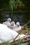 Cygnets auf ihrem Nest stockfoto