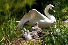 Cygnets auf ihrem Nest lizenzfreie stockbilder
