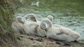 Cygnets on the banks of a wetland stock video