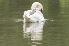 Cygnets being carried by their mother  on Southampton Common. Cygnets being carried by their mother on the Ornamental Pond  at Southampton Common Royalty Free Stock Images