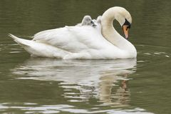Cygnets being carried by their mother on Southampton Common royalty free stock photo