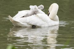 Cygnets being carried by their mother  on Southampton Common. Cygnets being carried by their mother on the Ornamental Pond  at Southampton Common Stock Photography