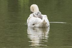 Cygnets being carried by their mother  on Southampton Common. Cygnets being carried by their mother on the Ornamental Pond  at Southampton Common Royalty Free Stock Photo