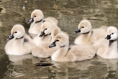 Cygnets of black swan Stock Photo