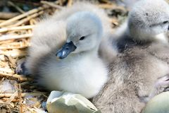 Cygnets. Close up of newborn cygnets in the nest stock image