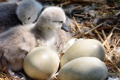 Cygnets. Close up of newborn cygnets in the nest with eggs stock photo
