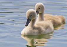 Cygnets Stock Photos