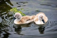 Cygnets da cisne muda fotografia de stock