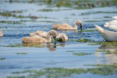 Cygnets da cisne muda imagens de stock