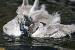 Cygnets da cisne muda fotografia de stock royalty free