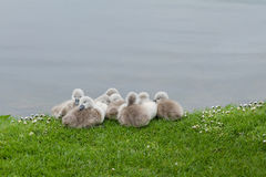 Cygnets Royalty Free Stock Photo