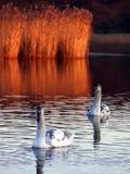 Cygnets för stum swan arkivfoto