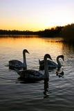 Cygnets för stum swan fotografering för bildbyråer