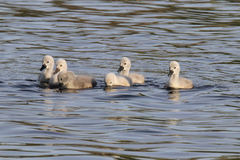 Cygnets royalty free stock images