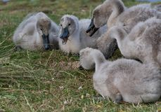 Cygnets feeding. By a lake royalty free stock images