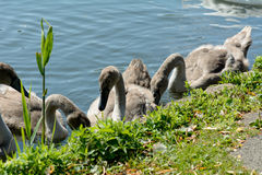 Cygnet swans Royalty Free Stock Images