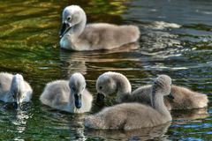 Cygnets in hdr Stock Photos