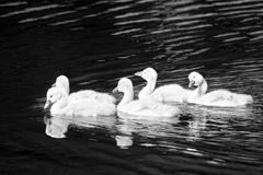 Cygnets in a Lake Royalty Free Stock Photography