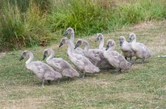 Cygnets line up. 9 swan cygnets waddle to the riverbank stock image