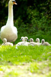 Cygnets out with dad. Young cygnets with their father Stock Image