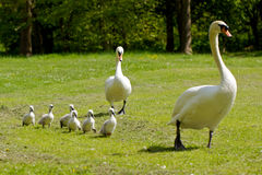 Cygnets out with mum and dad. Young cygnets with their mother and father for a walk Royalty Free Stock Photo
