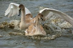 Cygnets on river Royalty Free Stock Image
