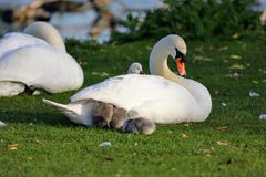 Cygnets Sleep Under The Wing Of Their Mum Royalty Free Stock Photo