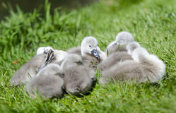 Cygnets Sleeping royalty free stock images