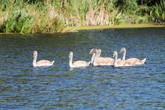 Cygnets. Swimming on water in summer stock images