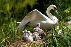 Cygnets on their nest. Young cygnets with their mother on their nest Royalty Free Stock Images