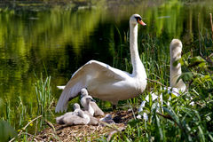 Cygnets on their nest. Young cygnets with their mother on their nest Stock Images