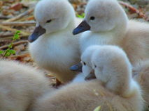Cygnets. Up close stock images