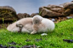 Cygnetschwan, der auf etwas Gras schläft stockfotos