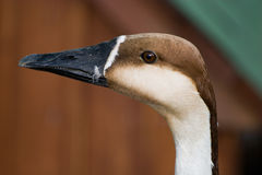 Cygnopsis, Anser cygnoides, Swan (Chinese) goose Royalty Free Stock Photography