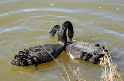 Cygnus atratus (Black Swan) Royalty Free Stock Photos