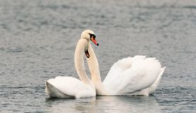 Cygnus branco Olor que acopla-se, cena de um par cisnes mudas da natureza imagens de stock