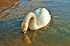 Cygnus is de taxonomische soort waarmee de grootste watervogels van de Anatidae-familie, thes worden geïdentificeerd stock foto