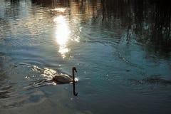 Cygnus is de taxonomische soort waarmee de grootste watervogels van de Anatidae-familie, thes worden geïdentificeerd royalty-vrije stock foto's