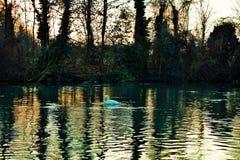 Cygnus is de taxonomische soort waarmee de grootste watervogels van de Anatidae-familie, thes worden geïdentificeerd royalty-vrije stock fotografie