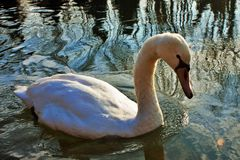 Cygnus is de taxonomische soort waarmee de grootste watervogels van de Anatidae-familie, thes worden geïdentificeerd royalty-vrije stock afbeeldingen