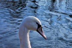 Cygnus is de taxonomische soort waarmee de grootste watervogels van de Anatidae-familie worden geïdentificeerd, birdssize deze - stock foto